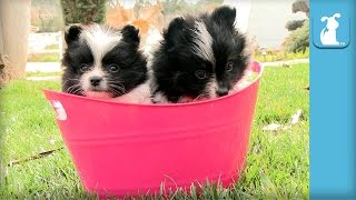 Puffy Pomeranian Puppies Conquer Pink Basket - Puppy Love