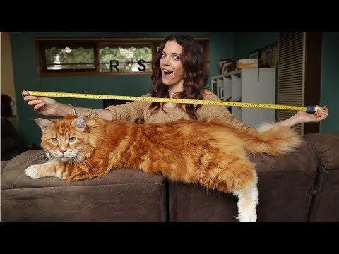 Самые большие кошки в мире: Мейн-кун, Саванна или Лигр