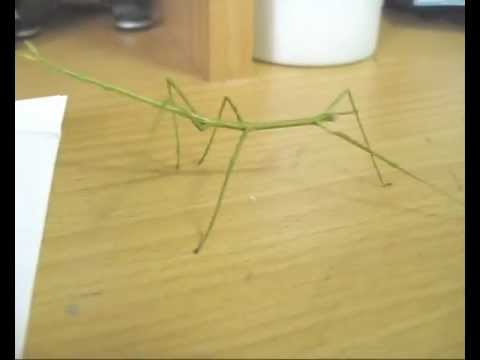 Stick Insect 'Dancing'  2