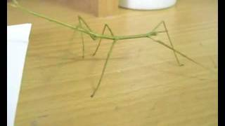 Download Video Stick Insect