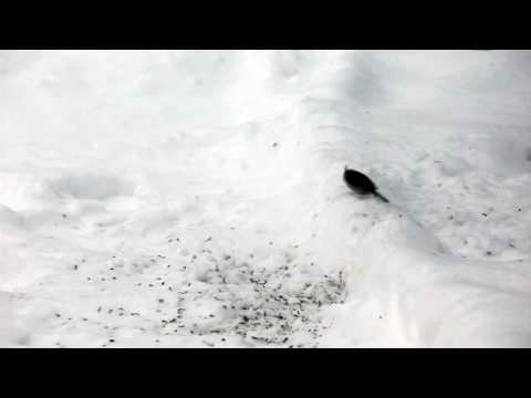 Crestet Tit (5D Mark II HD Video)