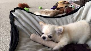 The fun police can't stop these adorable chihuahua puppies!