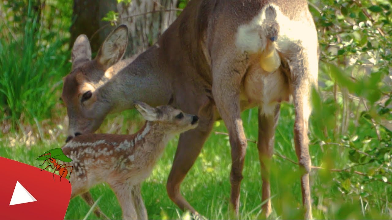 What Do You Call Male Female Baby And Groups Of Deer Daily Science Journal