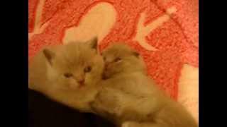 Продам шотландских котят. Киев.