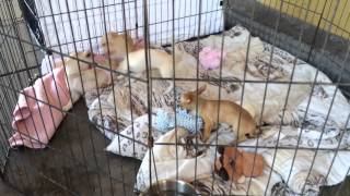 Dachshund - Chihuahua Mix Puppies Playing