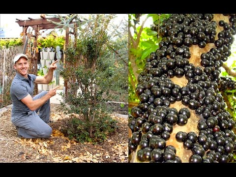How to Plant & Grow a Jabuticaba Tree (Brazilian Grape)