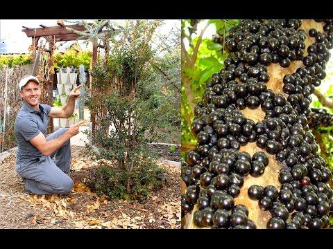 How to Plant & Grow a Jabuticaba Tree (Brazilian Grape)