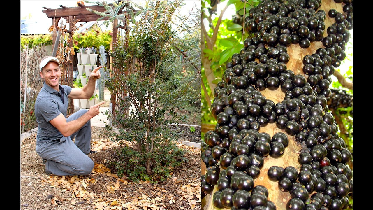 How to Plant & Grow a Jabuticaba Tree (Brazilian Grape) - YouTube