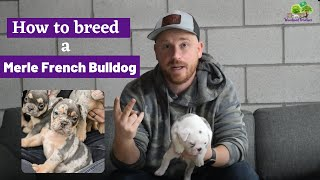 How to Breed Merle French Bulldog or Frenchton Puppies  All You Need to Know