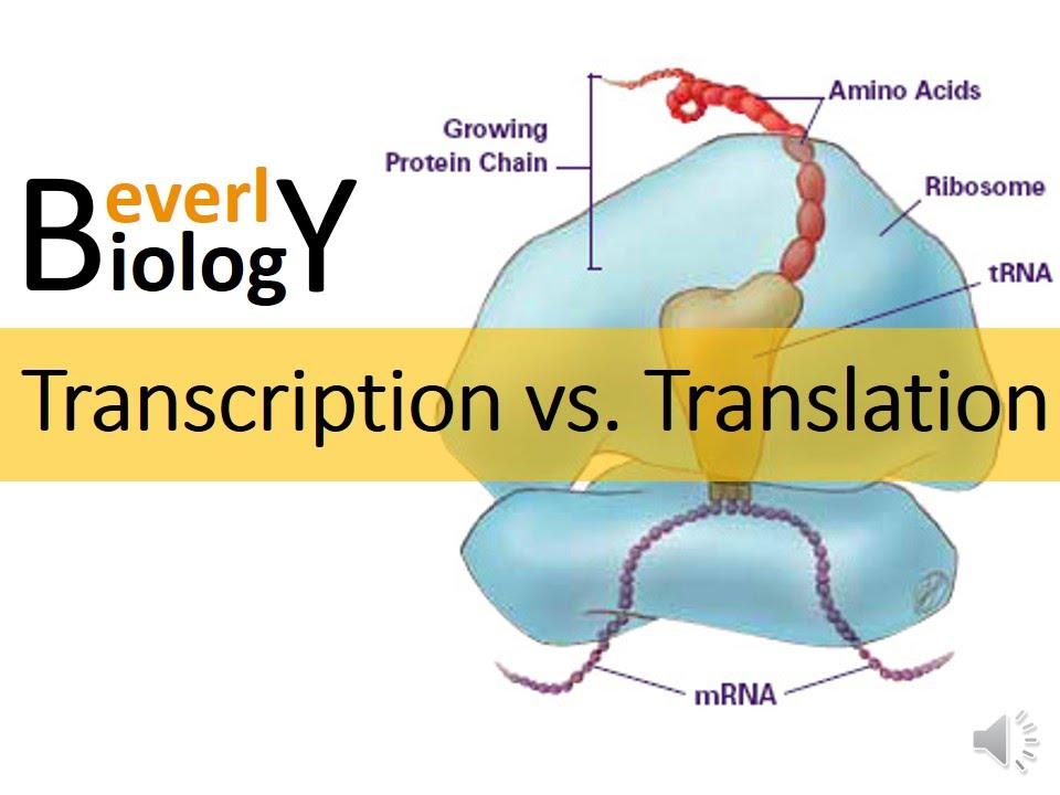 Transcription Vs Translation Youtube