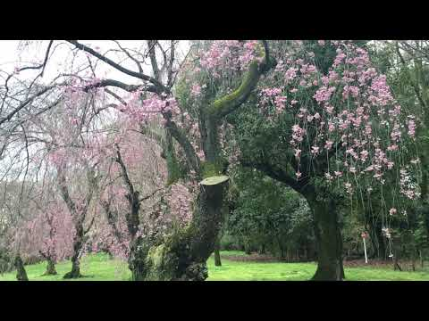 Nijo Castle Cherry Blossom