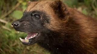 РОСОМАХА! Её боятся волки и даже медведи!!!