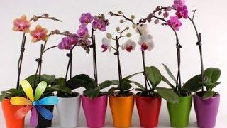 Как одну орхидею превратить в 100? - Все буде добре - Выпуск 569 - Всё будет хорошо 23.03.15(Этот цветок будет не только радовать вас, но и привлечет в вашу жизнь любовь! Вы очень любите орхидеи и мечт..., 2015-03-23T16:32:13.000Z)