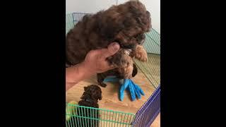 Shihpoo Puppies at 8 weeks!