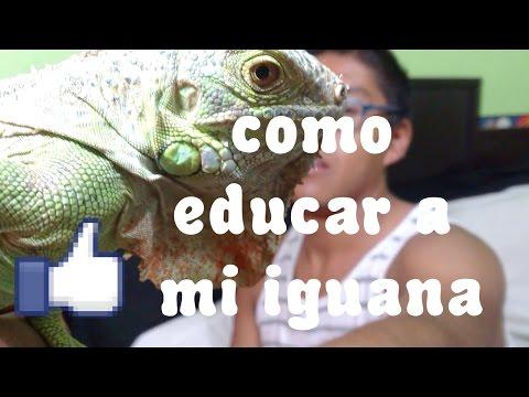 ¿Como educar a tu iguana? 2