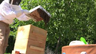 How to Catch a Swarm and Transfer to a Warre Hive