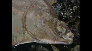 Erfolgreich angeln auf Plattfische