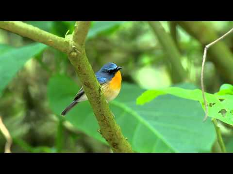 Hill Blue Flycatcher / นกจับแมลงคอน้ำตาลแดง