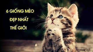 6 Giống Mèo Đẹp Nhất Thế Giới