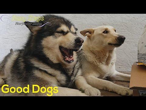 German Shepherd   Alaskan Malamute   Well Behaved Dogs  Good Discipline Dogs