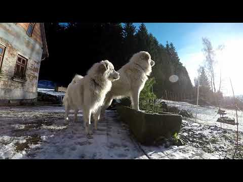 Adrspach Great Pyrenees: Livestock Guardian Dog on the pastures of Adrspach teplice Rocks