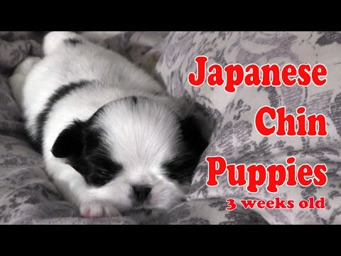 Japanese Chin PUPPIES at Three Weeks old