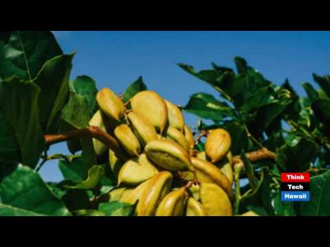 Tomorrow's Biofuels Grown in Hawaii - TerViva - The Power of Pongamia