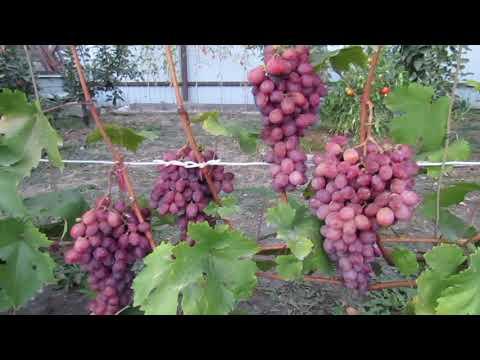 8 сентября 2018 года. Виноград сорта Сиреневый туман...