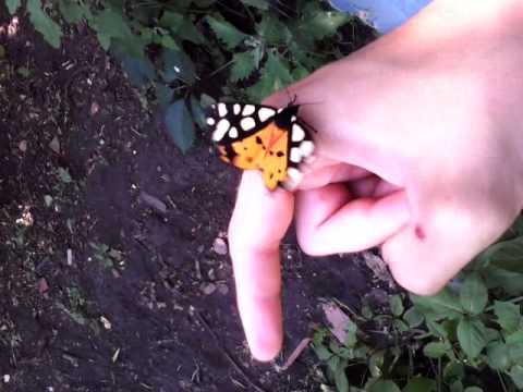 Живая бабочка пестрянка