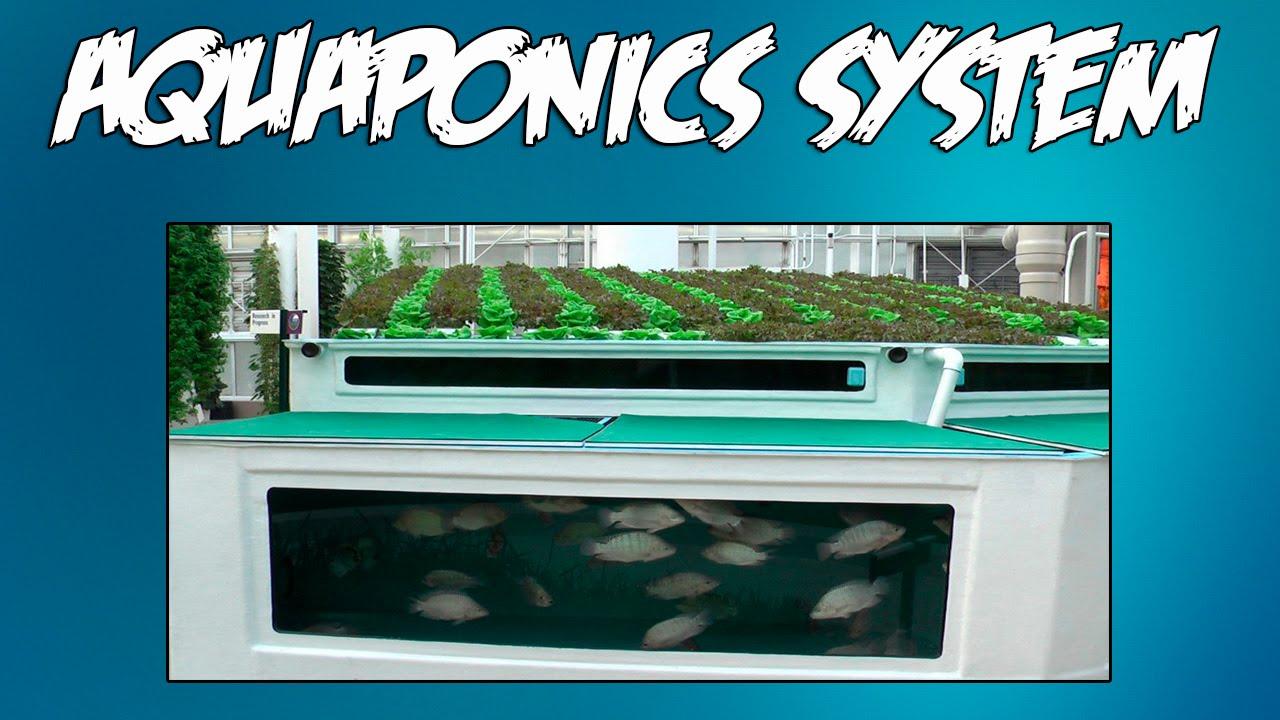 tilapia aquaponics youtube
