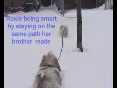 Winter Fun With Lhasa Apso Dogs Romping Through Snow