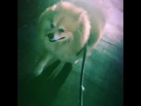 Worlds biggest Pomeranian Spirit