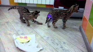 Сервал в доме! Продажа ручных котят сервала!