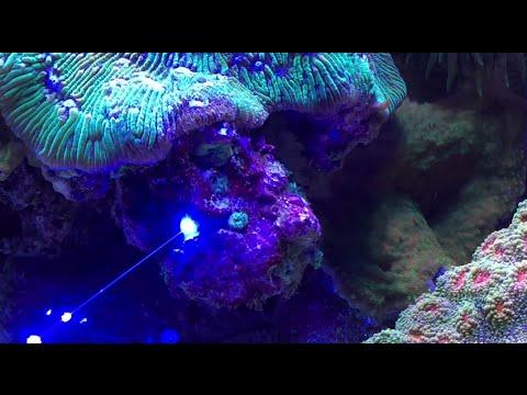 Laser away pest anemones (aiptasia & majanos)
