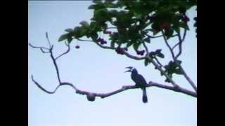 Волнистый калао. Wreathed hornbill. Aceros undulatus.  นกเงือกกรามช้าง