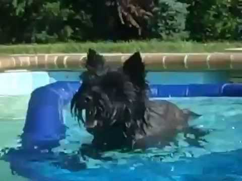 Remi the swimming Cairn Terrier 2012