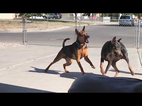 Slow motion video of a Doberman pinscher and pit bull play fighting