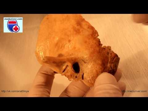 Os temporale. Anatomy of the temporal bone - meduniver.com