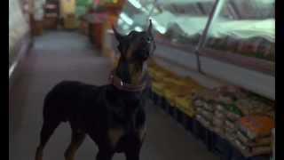 Dobermans in movie -- 25 -- Доберманы в кино