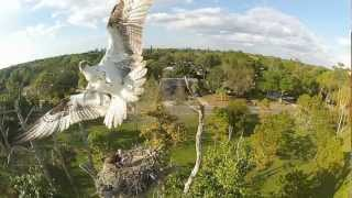 Repeat youtube video Gopro HD: Giant bird attacks quadcopter!