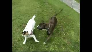 Amstaff Bull Terrier Mix With Red Nose Pit Staffy Stafford Bull Dog Sbt Vs Jack Russel