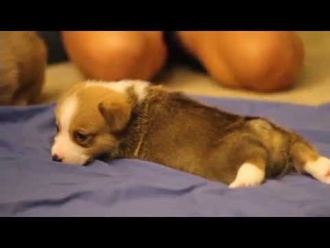 Corgi Puppies