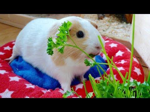 Vlog: A Tiny Garden for the Guinea Pigs