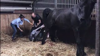 Something must be very wrong, the Friesian Horse foal is stuck.