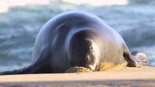 Epic Hawaiian Monk Seal