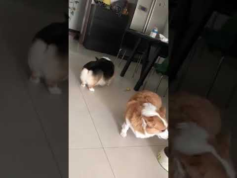 Dog Series: This is how 2 Welsh Corgi dogs fight