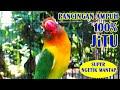 Suara Pancingan Burung Lovebird Ngetik Panjang Untuk Yang Malas Bunyi Dijamin Jitu  Mp3 - Mp4 Download