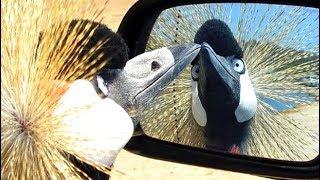 Эти забавные птицы!