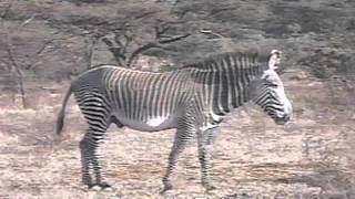 Looking at Zebras to understand the biological species concept