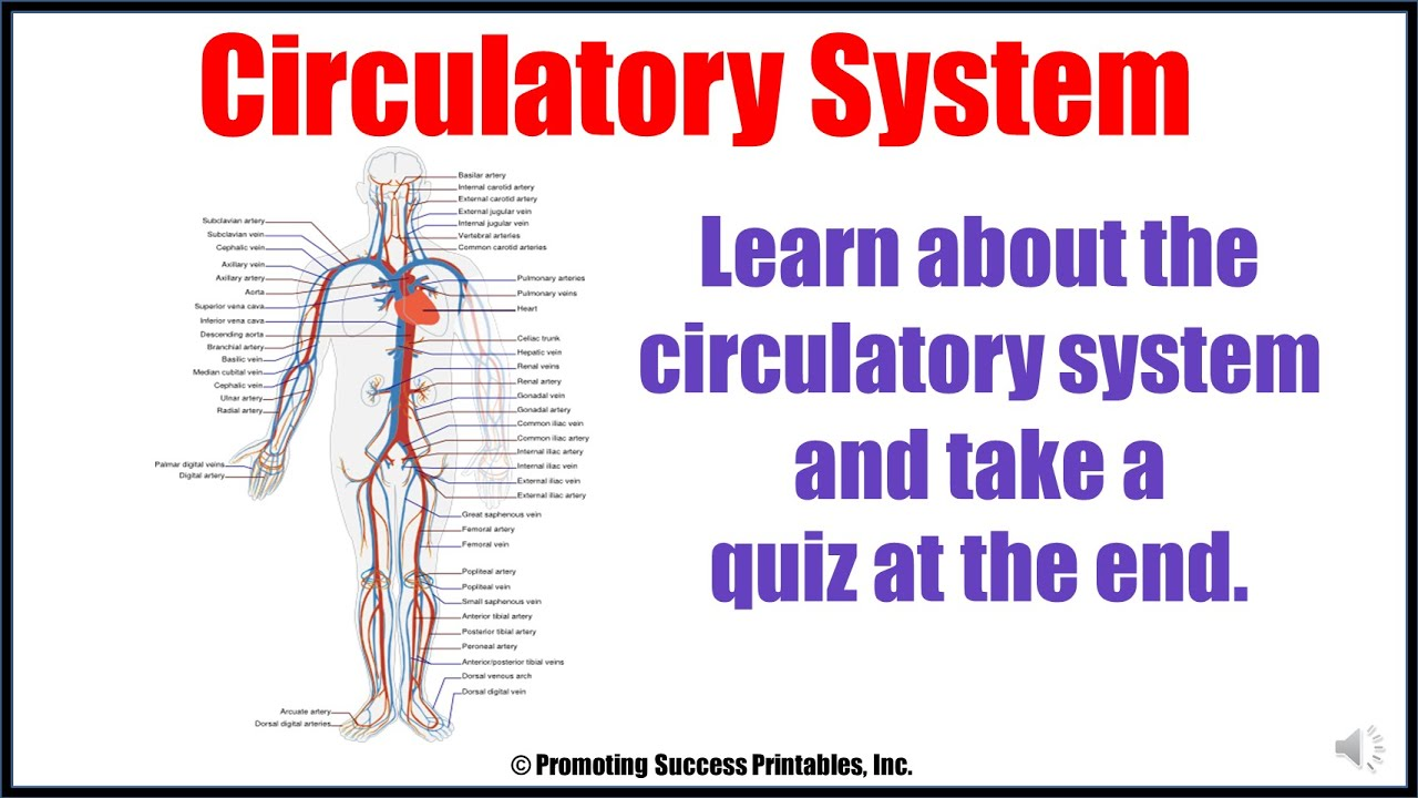 hight resolution of Circulatory System for Kids for Body Systems and Functions Review Plus Quiz  - YouTube